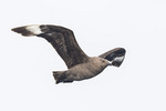 South Polar Skua (Stercorarius maccormicki) in flight in early June.