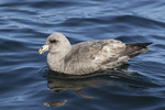 Northern Fulmar (Fulmarus glacialis) in mid-July.