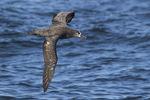 Black-footed Albatross (Phoebastria negripes) in flight in mid-July.