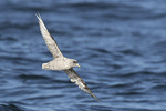 Northern Fulmar (Fulmarus glacialis) in flight in mid-July.