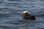 Tufted Puffin (Fratercula cirrhata) near nesting colony in late July.