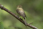Pacific-slope Flycatcher (Empidonax dificilis) in late July.