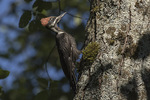 Immature female Pileated Woodpecker (Dryocopus pileatus) in late July.