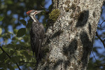 Immature male Pileated Woodpecker (Dryocopus pileatus) in late July.
