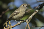 Hutton's Vireo (Vireo huttoni) in late July.