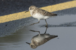 Adult Semipalmated Sandpiper (Calidris pusilla) in shallow puddle on fall migration in early August.
