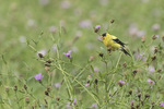 Male American Goldfinch (Spinus tristis) feeding in knapweed in mid-August.