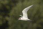 Hatch-year Forster's Tern (Sterna forsteri) in flight in mid-August. Orchard Beach Lagoon, Pelham Bay Park. Bronx, New York.