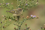 Male Ruby-crowned Kinglet (Regulus calendula) perched in aster on fall migration in late October.