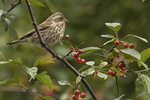Female Purple Finch (Haemorhous purpureus) in Crab Apple in late October on fall migration.