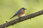 Male Eastern Bluebird (Sialia sialis) in late October on fall migration.
