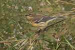 Yellow-rumped Warbler (Setophaga coronata) in late October on fall migration.