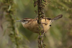 Carolina Wren (Thryothorus ludovicianus) in late October.