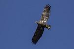 Three-year-old Bald Eagle (Haliaeetus leucocephalus) in flight in early November.