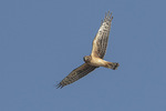 Immature male Northern Harrier (Circus hudsonius) in flight in late October.
