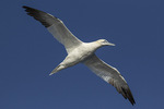 Adult Northern Gannet (Morus bassanus) in flight in early November.