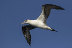 Northern Gannet (Morus bassanus) in flight in early November.