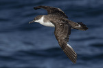 Great Shearwater (Ardenna gravis) in flight in early November.