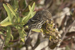 Pine Siskin (Spinus pinus) foraging in Seaside Goldenrod for insect larvae in mid-November.