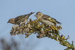 Pine Siskins (Spinus pinus) foraging in Seaside Goldenrod in mid-November.