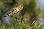 Pine Siskin (Spinus pinus) perched in Pine in mid-November.