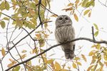 Barred Owl (Strix varia) in mid-November.
