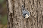 First-fall male White-breasted Nuthatch (Sitta carolinensis) in mid-November.