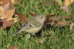Ruby-crowned Kinglet (Regulus calendula) searching for insects on a lawn in late November on fall migration.