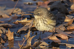 First-fall Yellow-rumped Warbler (Setophaga coronata) foraging around a puddle in late November.