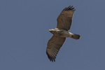 Immature Red-shouldered Hawk (Buteo lineatus) in flight overhead in early November on fall migration.