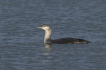 First-winter Red-throated Loon (Gavia stellata) in late November.