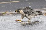 Adult Peregrine Falcon (Falco peregrinus) in late November.