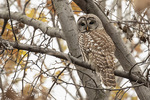 Barred Owl (Strix varia) roosting in late November.