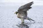Adult female Peregrine Falcon (Falco peregrinus) in late November.