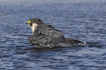 Adult female Peregrine Falcon (Falco peregrinus) bathing in a puddle in late November.