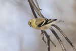 American Goldfinch (Spinus tristis) in late January.