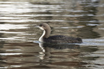 Adult Pacific Loon (Gavia pacifica), a rare vagrant on the east coast, in early March.
