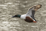 Male Northern Shoveler (Spatula clypeata) in flight in early March.