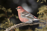 Male Pine Grosbeak (Pinicola enucleator) in mid-January.