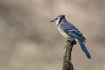 Blue Jay (Cyancitta cristata) in mid-April.