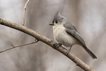 Tufted Titmouse (Baeolophus bicolor) in mid-March.
