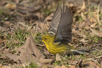 Male Pine Warbler (Setophaga pinus) foraging on the ground in late March on spring migration.