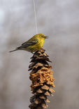 Male Pine Warbler (Setophaga pinus) on suet feeder. in late March on spring migration.
