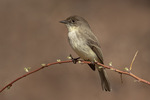 Eastern Phoebe (Sayornis phoebe) in early April on spring migration.