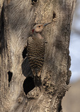 Female Northern Flicker (Colaptes auratus) in early April.