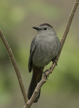 Gray Catbird (Dumetella carolinensis) in early June.