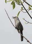 Gray Catbird (Dumetella carolinensis) singing in mid-June.