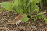 Veery (Catharus fuscescens) in early May on spring migration.