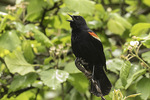 Singing adult male Red-winged Blackbird (Agelaius phoeniceus) in mid-May.