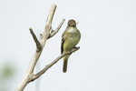 Willow Flycatcher (Empidonax traillii) eating an insect in mid-July.